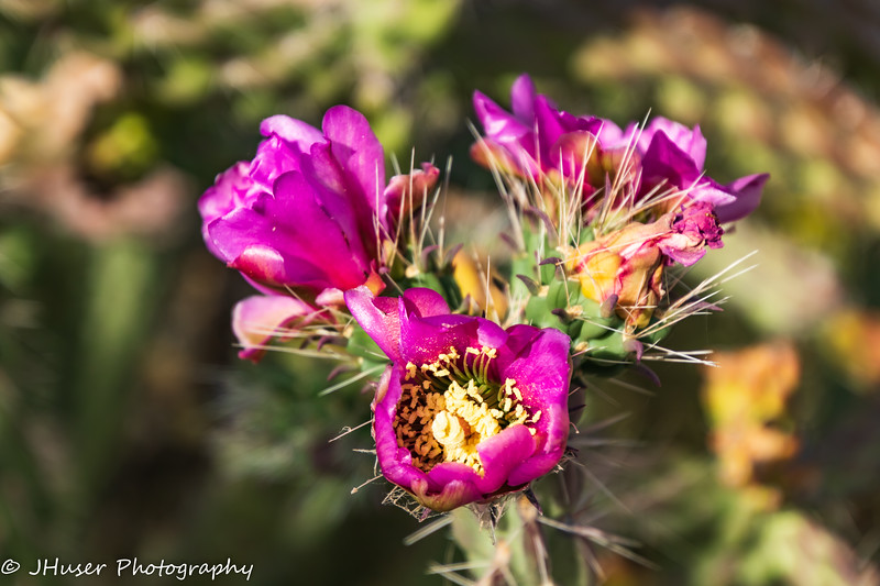 Close up of pink cholla cactus flowers