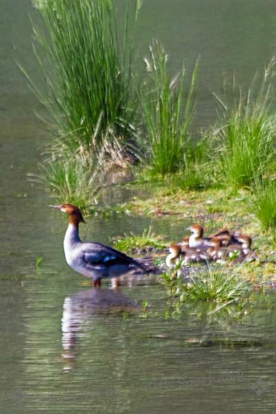 Nesting Merganser