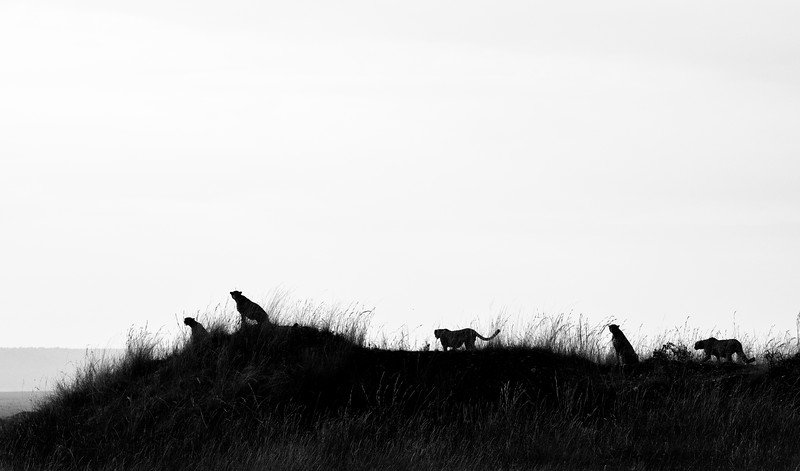 Band-of-five-cheetahs-masai-mara-1.jpg