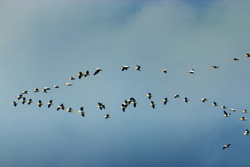 10.7.18 Blackburn Creek Fish Nursery: American White Pelicans