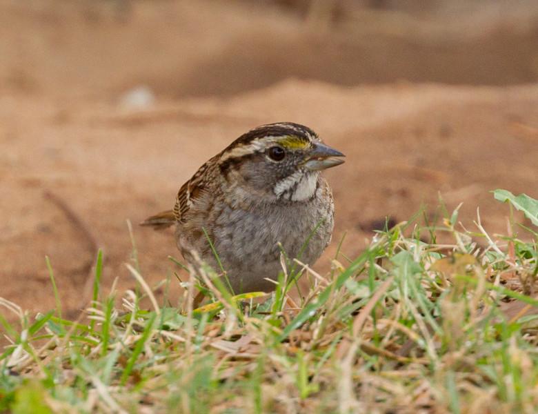 White-throated Sparrow Encinitas 2015 12 09-2.CR2