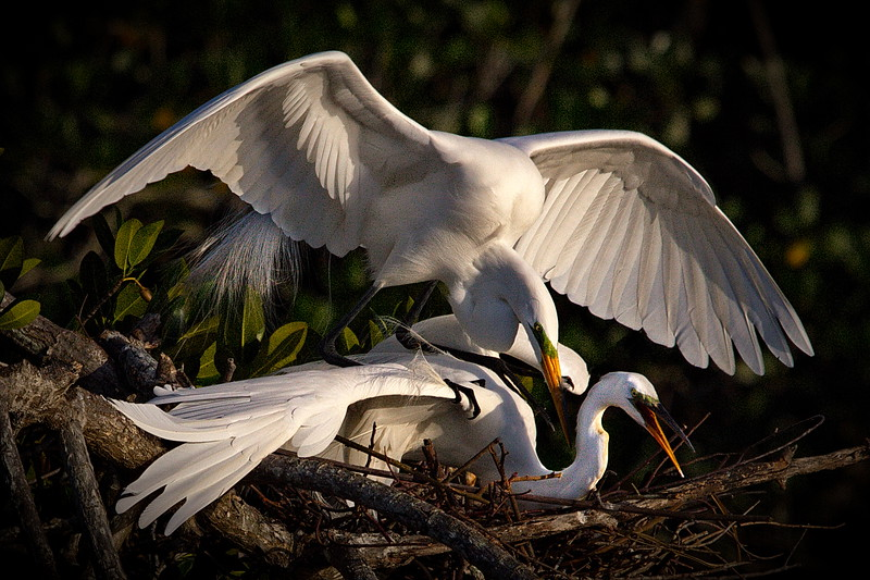 Bird Island, Florida, Great Egret, Mud Cove, Photo, Port St Lucie, St Lucie River