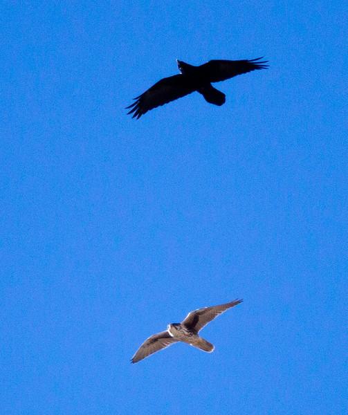 Prairie Falcon   Bishop 2012 12 15 (1 of 1).CR2