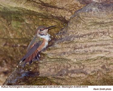 RufousHummingbirdM44416.jpg