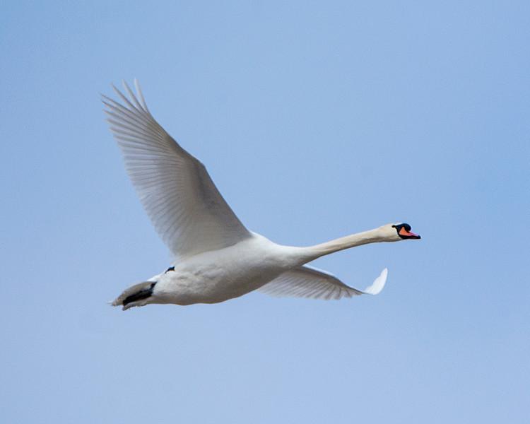 Mute Swan IX0809.jpg