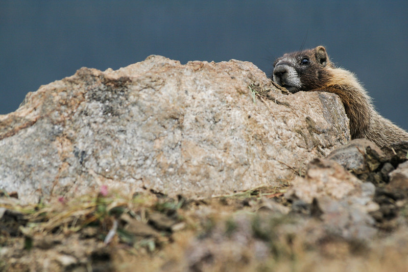 Paranoid Marmot