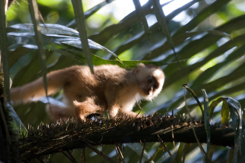 White-fronted Capuchin baby (1) at Cocha Blanco near Manu Wildlife Center, Peru (2008-07-10).psd