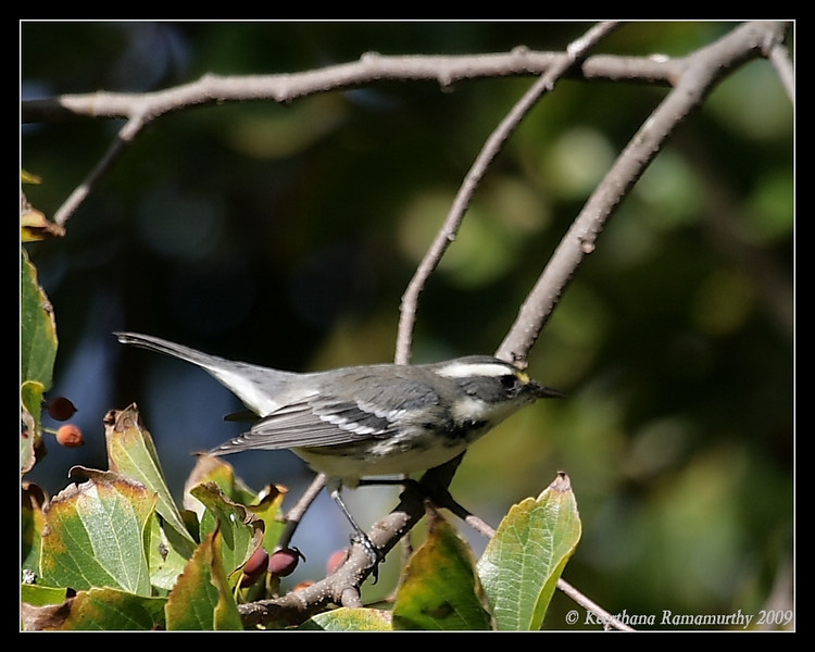 Black-throated Gray Warbler, Santee Lakes, San Diego County, California, October 2009