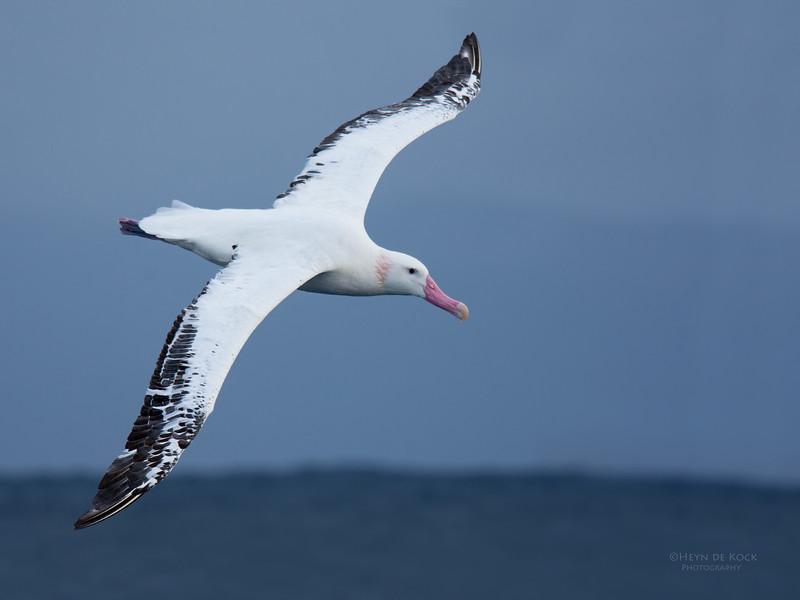 Wandering Albatross, Eaglehawk Neck Pelagic, TAS, May 2016-2.jpg