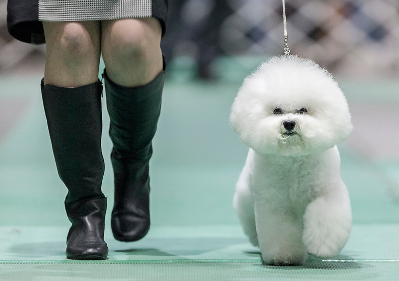 """Erik Anderson - For the Daily Chronicle  Lisa Bettis of Goshen, IN, trots her Bichon-Frise known as """"Vogel Flights, Honor to Pillow Talk,"""" during the Non-Sporting group at the Kennel Club of Yorkville - Dog Show at the NIU Convocation Center in DeKalb on Saturday, April 6, 2013. Bettis would go on to win second place in the competition."""