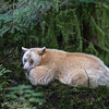 1              Spirit bear having a rest...looks comfy.