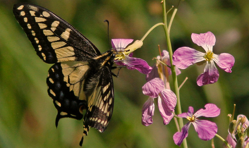 Anise Swallowtail nectaring on wild radish wildflower (backyard)