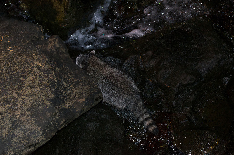 A family of chattering Raccoons paid me a visit