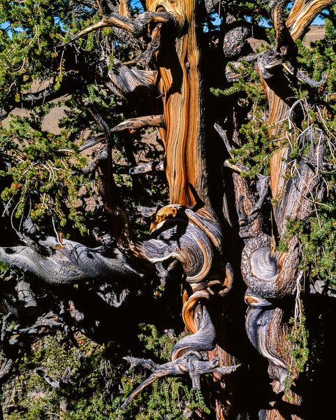 Bristlecone pine, marker 4, Shulman Grove, Inyo National Forest, California, 1995