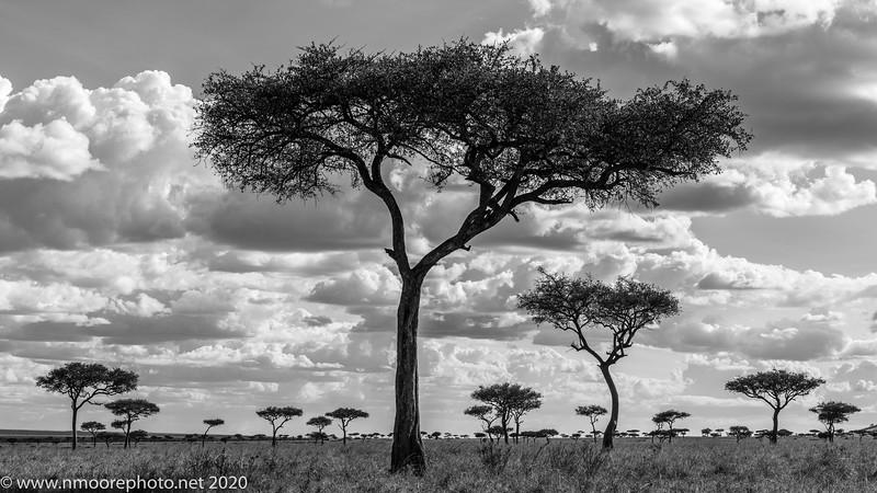 Balanites amidst the grasslands