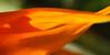 Bird-of-Paradise Macro (Strelitzia reginae) - San Diego, CA