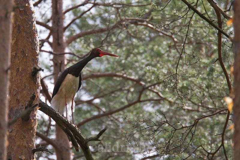Black Stork on a perch