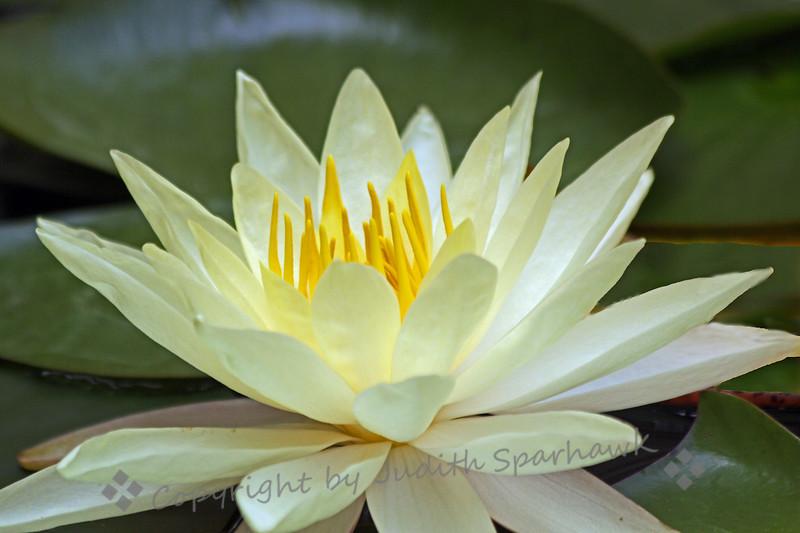 Solo White Lily ~