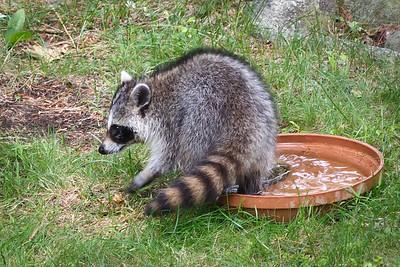 Raccoons visit - 19 Jun 2017 - 7:00 AM