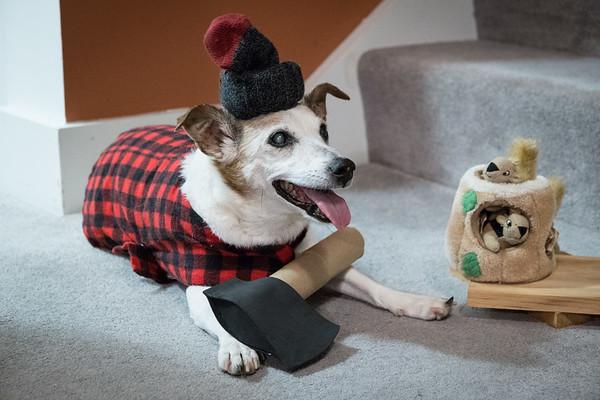 Lumber Jack Russell Terrier