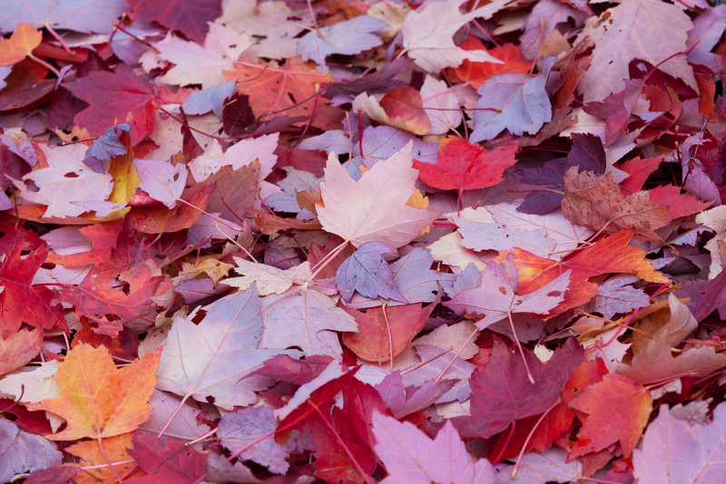 coy fall leaves 2009-8807.jpg