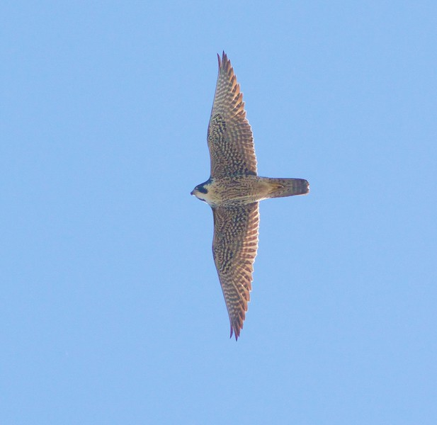 Peregrine Falcon Park Point Duluth MN IMG_9842.jpg