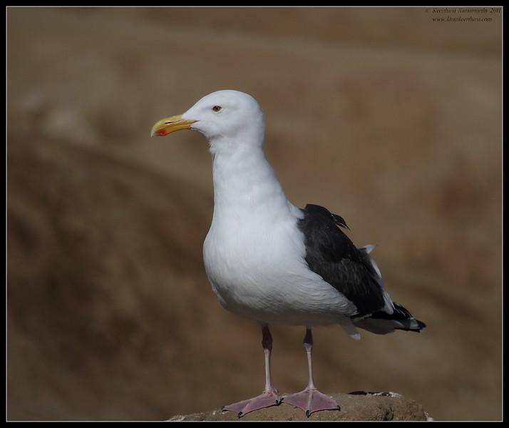 Western Gull, La Jolla Cove, San Diego County, California, February 2011