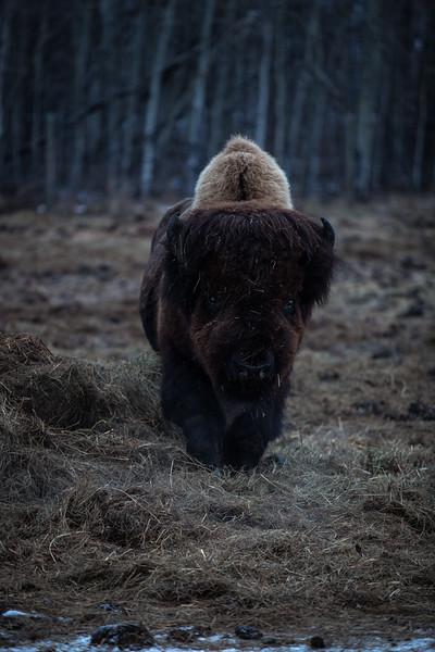 AHP171212_buffalo1409.jpg