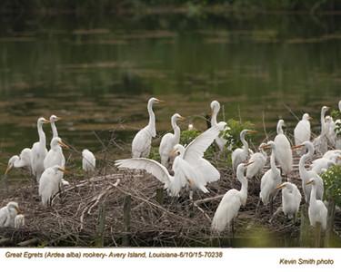 Great Egrets Rookery70238.jpg