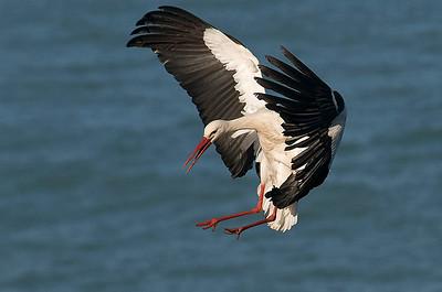 Cigüeña/ White Stork