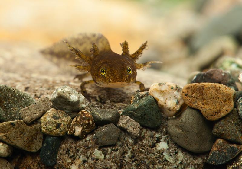 Long-toed Salamander larva