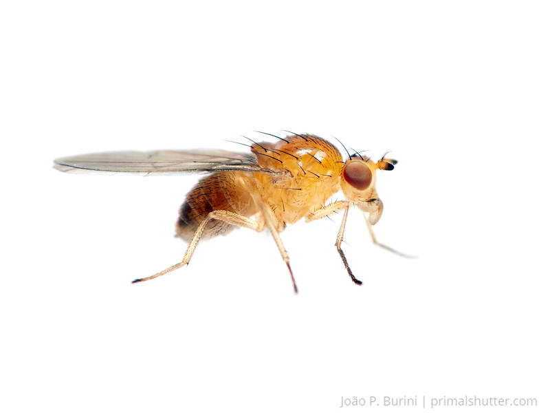 Fruit fly (Drosophila species) Sorocaba, SP, Brazil August 2012 Urban