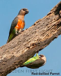 Red-bellied Parrot, Kenya