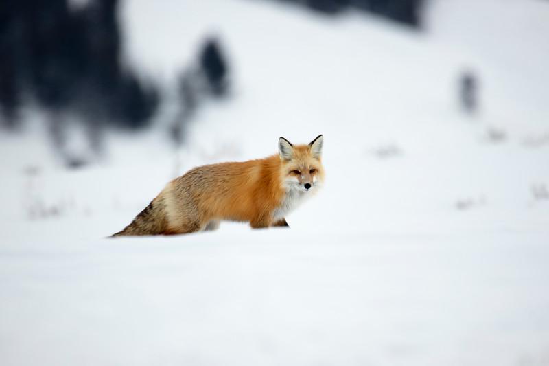 387A9741 Red fox at Hayden valley.jpg
