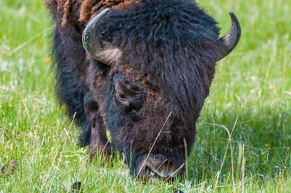 Buffalo (Bison)