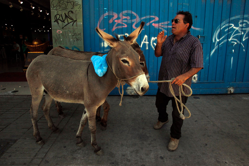 . In this Dec. 13, 2014 photo, Ricardo Alegria holds his donkeys by a leash as he yells to sell their milk in the streets of Santiago, Chile. Alegria, along with his brother Marco, has been selling fresh donkey milk for the past 25 years, and says it\'s recommended as a vitamin boost. Shot glass size cups of the drink sell for about $2 dollars. Half a liter, which is the most he says his donkeys can give in one day, sells for about $20 dollars. (AP Photo/Luis Hidalgo)