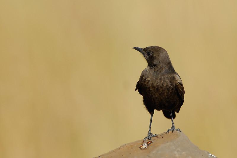 Blue-eared Starling.JPG