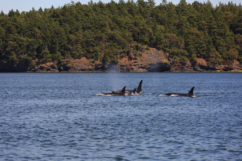 2013_06_04 Orcas Whale Watching 376.jpg