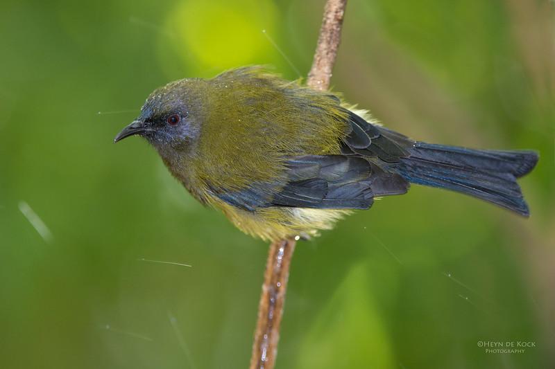 Bellbird, Tiritiri Matangi, NZ, March 2015-6.jpg