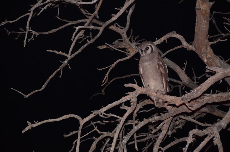 78 - Giant Eagle Owl - Chitabe - Anne Davis