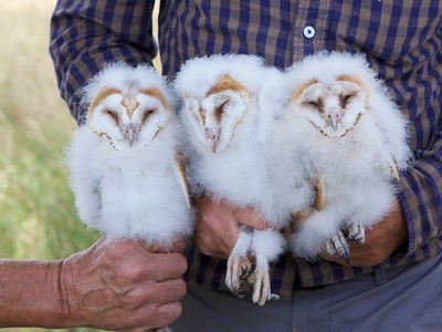 Barn Owls, Heath Farm