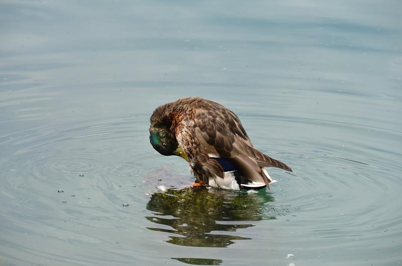 Duck. Blejsko jezero, Bled
