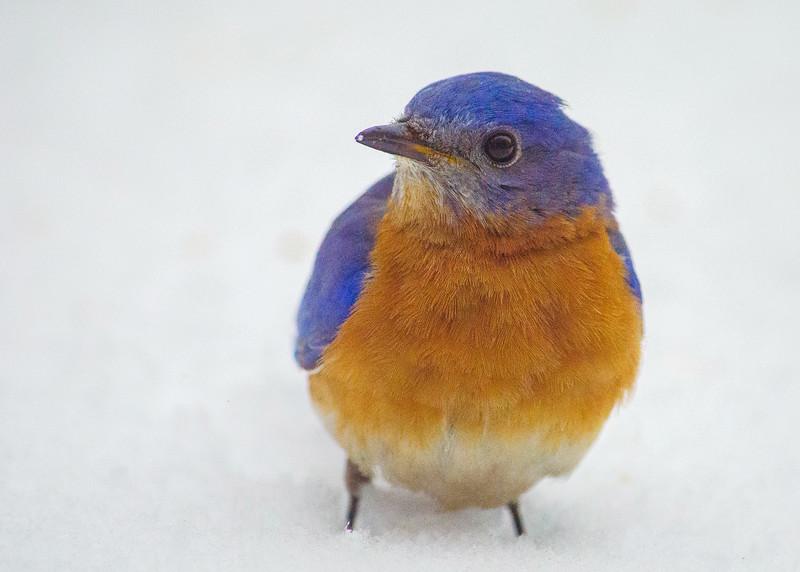 bluebird k (1 of 1).jpg