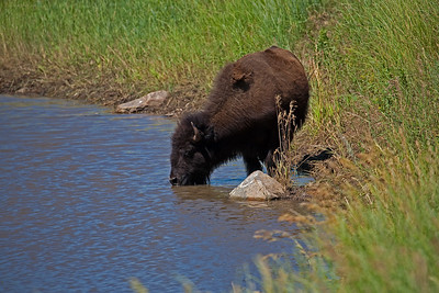 Black Hills, Yellowstone, The Tetons, Wildlife and Scenics