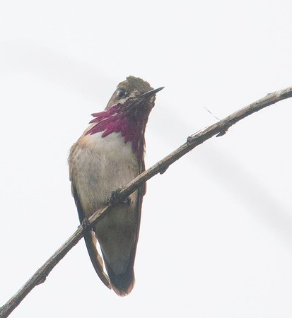 Calliope Hummingbird & Friends 4-30-18 TRV