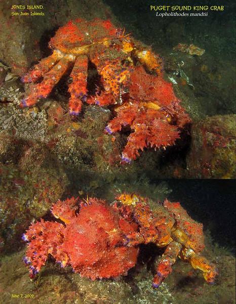 Puget Sound King Crab ( Lopholithodes mandtii ).  Jones Island, San Juan Islands. June 7, 2009