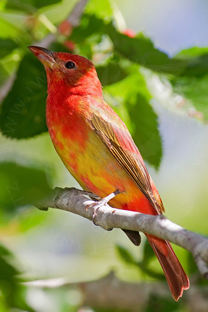 Tanager, Summer