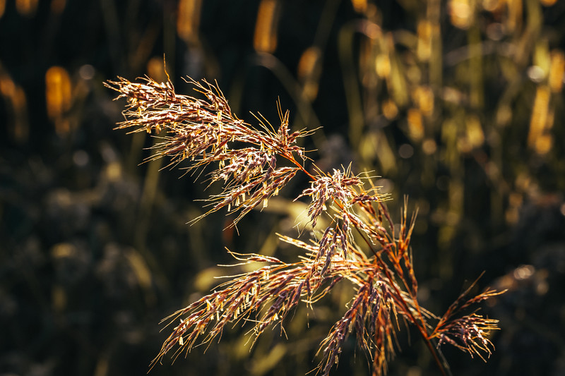 Dry Grass Seed at Sunset
