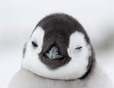 Wink. Snow Hill Island, Antarctica
