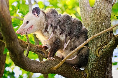 Opossum with 5 Babies